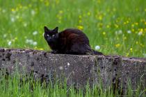 Eine schwarz-braunrötlich schimmernde Katze auf der Mauer. Katzen, Kater, Vögel, Schmetterlinge, Bienen, Wespen und noch viel mehr. Das Grundstück wird immer mal wieder von anderen besucht und einige kommen auch mal öfters vorbei.