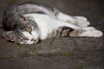 """Die älteste Katze """"Creme Puff"""" starb mit 38 Jahren. Das ist ein stolzes Alter von 196 Jahren, umgerechnet in Menschenjahre. Katzen altern schneller als wir Menschen und nach nur einem Monat endet das Katzen-Babyalter und sie werden zu Teenagern. Schon nach sechs Monaten erreichen Katzen die Pubertät und Geschlechtsreife. Wird das erste Jahr vollendet hat eine Katze umgerechnet in Menschenjahre zirka das 15.te Lebensjahr erreicht. Mit 18 bis 24 Monaten ist die Katze erwachsen. Mit erreichen des zweiten Jahres ist die Katze 24 Jahre und ab diesem Zeitpunkt altert die Katze um jedes weitere Kalenderjahr um vier Jahre. Gut zu wissen, denn im Senioralter benötigt die Katze mehr Ruhe, Zuneigung und sollte auf altersbedingte Krankheiten achten und diese behandeln."""