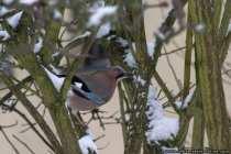 Eichelhäher sind relativ standorttreu und so sind die Waldvögel auch im Winter anzutreffen.