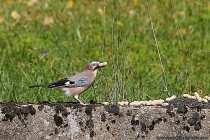 Der Eichelhäher ist ein pfiffiger Schlaumeier und hat viele verschiedene Namen, wie der Holzhäher, Spiegelhäher, Nussert, Eichelrabe, Hehara, Holzschreier, Eichelkrähe und viele weitere. Der Eichelhäher mit seinen kurzen Beinen bewegt sich hüpfend. Die Waldvögel, die zirka 3 bis 5 Eier zur Brut legen, können ein Alter von 17 Jahren erreichen. Die Sterberate im ersten Lebensjahr ist mit 61 Prozent enorm hoch.