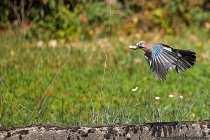 Die wunderschönen blauen Federn sind bei ausgebreitenden Flügeln besser am vorderen Flügelansatz zu erkennen. Der Eichelhäher hat auch strahlend blaue Augen. Um diese Augenfarbe zu entdecken, muss man aber ziemlich nahe an den Waldvogel herankommen.