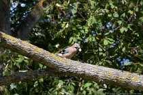 Gartenbesitzer in Waldrandlage werden den Eichelhäher eher zu Gesicht bekommen. Sein Aussehen ist taubengroß mit einem rosabraunen bis rötlichgrauen Körper. Ein schwarzer Bart schmückt ihn unterhalb des schwarzgrauen Schnabels, wobei die schwarz-weißen Flügel mit den faszinierend schillernd blauen Federn, den Waldvogel als Eichelhäher gut identifizieren lassen.