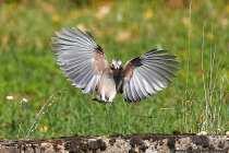 Der Eichelhäher ist im Flug nicht immer eindeutig zu erkennen. Nach der Landung kann der Häher aber eindeutig identifiziert werden. Er ist ein Waldfreund, da er Eicheln und andere Waldfrüchte im Boden vergräbt, welche teilweise austreiben und für neuen Baumbestand sorgen. Eichelhäher verbleiben nur selten in unserem Land und sind meist nur auf der Durchreise. Ornithologen konnten beobachten, dass auch überwinterte Eichelhäher Ihre Heimreise im Frühjahr vollzogen.