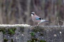 Der Eichelhäher ist ein Wildvogel und sollte nicht gezähmt werden, damit er in freier Wildbahn überleben kann.  [EOS5D Mark4 | ISO3200 | f5,6 | 1/1250s | 400mm]