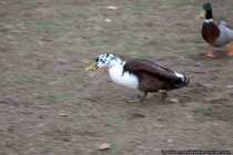 Eine Ente ist mit Nahrung auf der Flucht