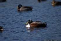 Ein Bild von einer Ente und wie erkennt man die weibliche Ente.
