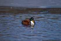 Eine Ente auf einem See