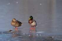 Eis-Enten - Hoffentlich gefrieren nicht die Fuesse. Die Balz der Enten.