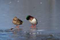 Entenpaerchen auf Eis, wie lange hält eine Entenliebe?