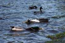 Zwei Enten strecken ihren Hals um schnell an das Futter zu gelangen