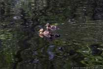 Kuecken auf einem Teich und flügge nach 60 Tagen.