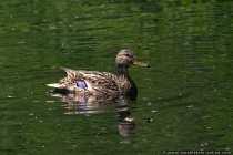 Entenvater und woran erkennt man einen Erpel