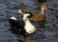 Zwei Enten im Wasser. Das Weibchen wählt den Erpel zur Paarung aus.