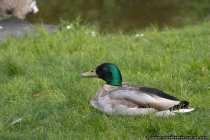 Ente im Gras - Nicht stören, sonst schnattere ich