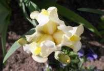 Lilium - Lily