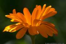 Ringelblume, Garten Ringelblume, Gold- oder Totenblume - English marigold (Calendula officinalis)