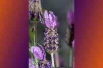 Schmetterlingslavendel - Blue lavender