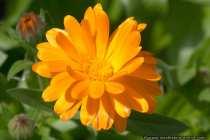 Gelborangene Ringelblume - Marigold