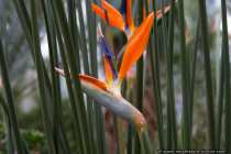 Strelitzie - Strelitzia reginae - bird of paradise flower