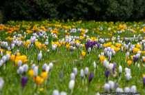 Blumen zum Fruehling - Fruehlingsboten - Spring messengers