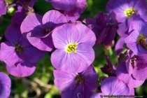 Enzianstrauch (Baeumchen) - Solanum rantonettii - Gentian shrub