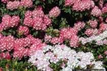 Der Rhododendron ist ein Heidekrautgewaechs