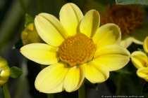 Dahlie in der Bluetezeit - Big Dahlia - Flower