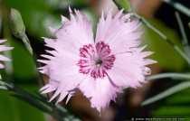Feder-Nelke (Dianthus plumarius) - Feather Carnation