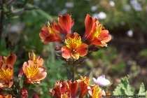 Die Pantoffelblume Calceolaria paralia