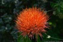 Amaryllidaceae Südafrika