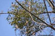Mistel - Nature Photo Mistletoe