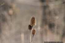 Trockenpflanze - Fruchtstand einer Karde, Dipsacus.