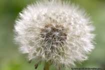 Pusteblume Makrofotografie - dandelion clock