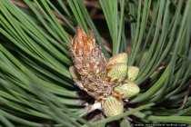 Gelbkiefer Zapfen - Ponderosa pine