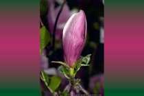 Magnolia Liliiflora - Purpur Magnolia Liliiflora