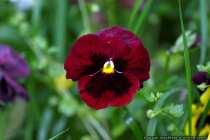 Stiefmuetterchen rot-schwarz - Red and black pansy