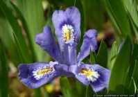 Schwertlilie Iris Lacustris