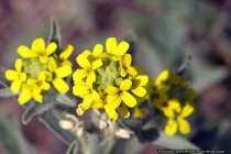 Allium Flavum ist eine seltene Lauchart