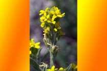 Gelber Lauch, Allium Flavum