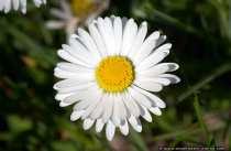 Gaensebluemchen - Bellis perennis - Daisy