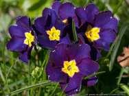 Primeln (Primula) sind meist mehrjährige Blühpflanzen. Schlüsselblume ist der deutsche Name. Die Hälfte aller Arten, davon gibt es 500, sind in China beheimatet.