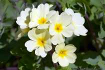 Weissgelbe Primeln - Whiteyellow primroses
