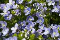 Veilchen - Violet