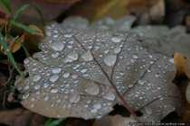 Tautropfen - Dewdrop