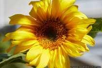 Eine knallgelbe Sonnenblume