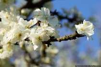 Blueten am Pflaumenbaum
