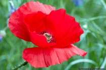 Die krautige und Milchsaftproduzierende Pflanze erreicht eine Wuchshöhe von 20 bis 90 Zentimetern. Die Blüte produziert 2,5 Millionen Pollenkörner, diese außergewöhnliche hohe Produktion wird nur noch von der Pfingstrose übertroffen.