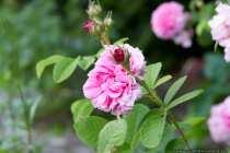 Rosa damascena wird seit der Antike in Kleinasien gezüchtet und gelangte über Frankreich nach Europa.