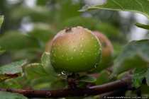 Fruehapfel nach einem Regenschauer - Apple after a shower of rain