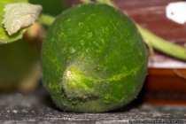 Die dicke gruene Einlegegurke ist jetzt reif zum abernten.